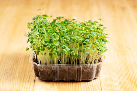 Growing arugula microgreen in tray on wooden background