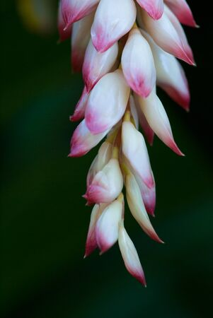 alpinia: Shell ginger flower alpinia zerumbet