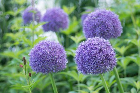 allium: Purple Allium flowers in garden