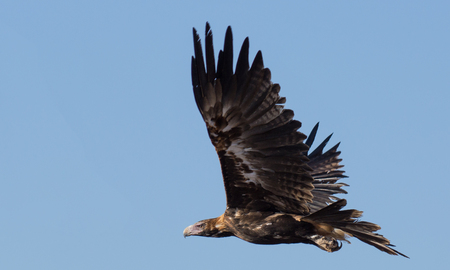 wedgetailed: Australian wedge tailed eagle in flight