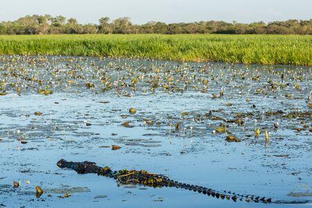 kakadu: Crocodile with waterlilies at Kakadu, Australia Stock Photo
