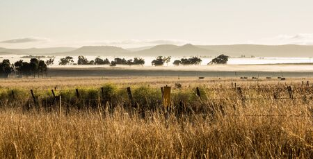 darling: Early morning fog, cattle grazing in field at Darling Downs, Australia