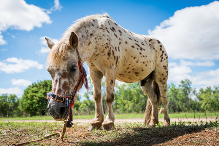 shetland pony: Beautiful spotted Shetland pony tethered in field Stock Photo