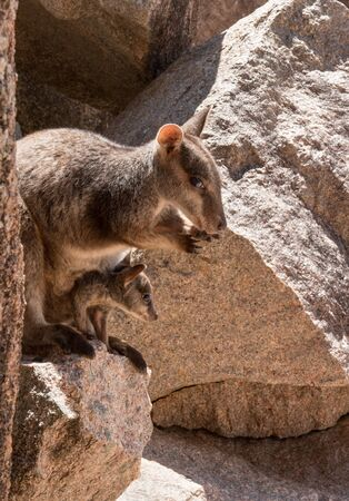 Mother rock wallaby with joey in pouch sitting on rocks at Magnetic Island, Australia