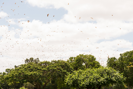 pteropus: Hundreds of Pteropus scapulatus  flying fox, flying in a swarm above trees in a park