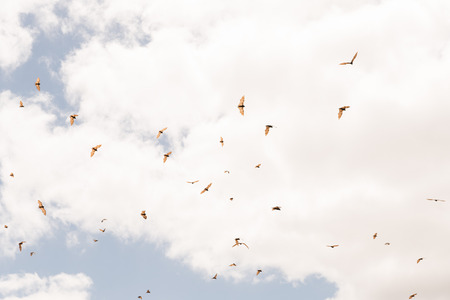 pteropus: Many Red flying fox, Pteropus scapulatus, flying in cloudy sky
