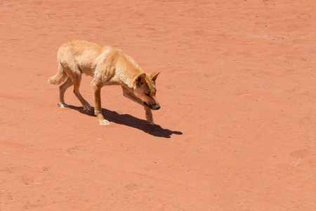 outback australia: Dingo in outback Australia running up to something, panning shot Stock Photo
