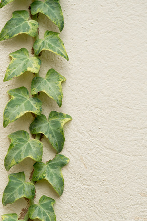 Ivy climbing on rendered wall of house background Stock Photo