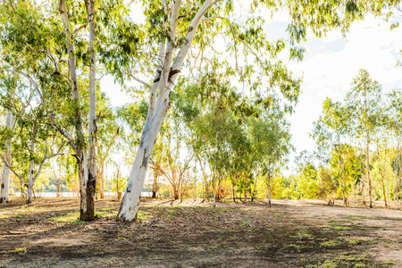 Eucalyptus or gum trees in Queensland, Australia by the banks of the Burdekin River Stock Photo