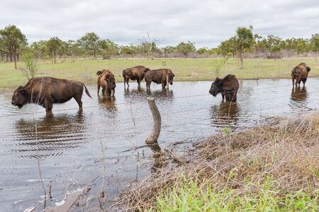 Herd of bison cooling down in a waterhole