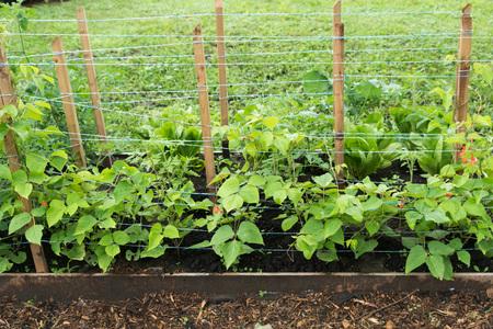 健康的な若い開花 bean の植物、庭のベッドでベニバナインゲン 写真素材