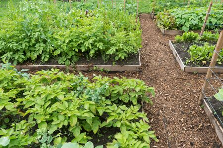 Vegetable garden with wooden edges and mulched pathways