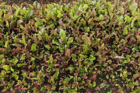Healthy beetroot plants growing in home garden