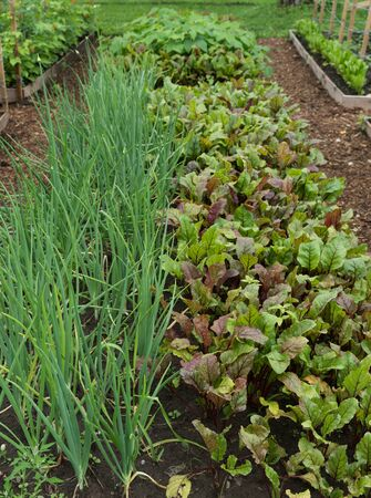 Onions and beetroot in garden bed