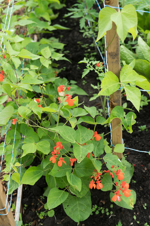 Healthy young flowering bean plants, Phaseolus coccineus, in garden bed