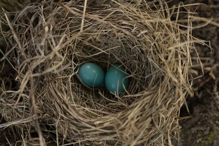 Two blue eggs in bird nest of a robin