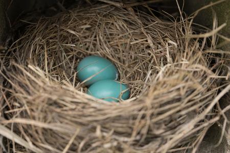 ロビンの巣、卵を中心に 2 つの青い卵のクローズ アップ