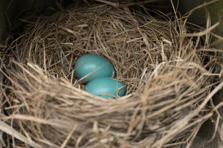 Close up of two blue eggs in a robins nest, focus on eggs