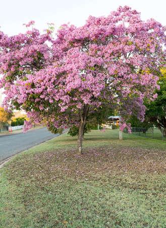 Flowering Tabebuia palmeri or Handroanthus impetiginosusor pink trumpet tree covered in pink bell shaped flowers