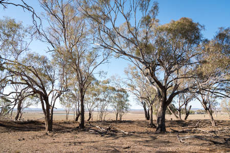 Dry and parched paddock with dying trees on the Darling Downs during drought in Queensland