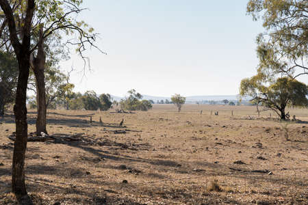 Kangaroos in dry paddock on the Darling Downs, outback Queensland, during drought Archivio Fotografico