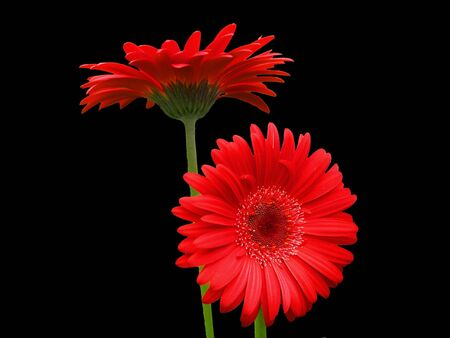Gerbera Attention:  Two red Gerbera Daisies with green stems on a black background