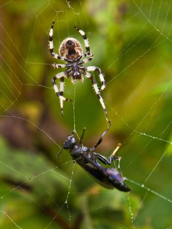 doomed: Doomed: A spider approaches a wasp entangled in its web. Stock Photo