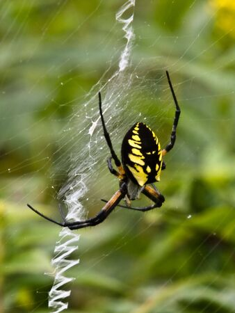 Garden Spider (Argiope aurantia):  A female Garden Spider waits at the center of her web for prey to become entangled.  The white zigzag structures are called stabilimentum. The functin of this  Imagens