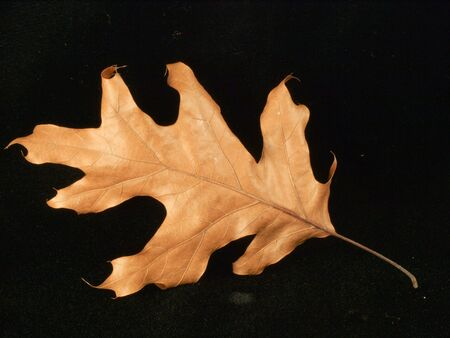 American Plenty, Still Life In Detail, Oak Leaf Bottom Imagens