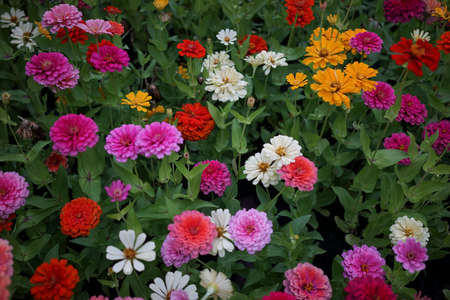 flower of live: Colorful Chrysanthemum Flowers