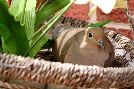 nesting: Dove  Nesting  in a Nest