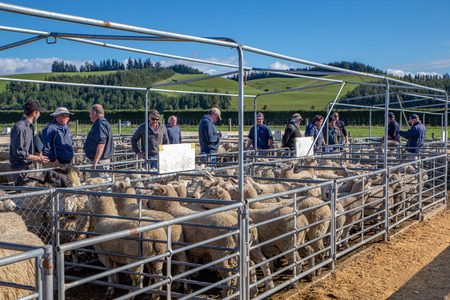 Coalgate, Canterbury, New Zealand - September 27 2018: Agents and farmers move along the pens of sheep as they are being auctioned on a spring morning