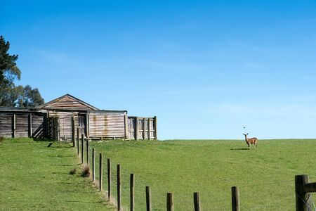 A deer looks up from grazing in a paddock and a shearing shed or woolshed sits on the hilltop in the countryside