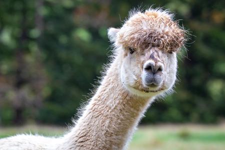 A very curious alpaca in a farm field Banco de Imagens