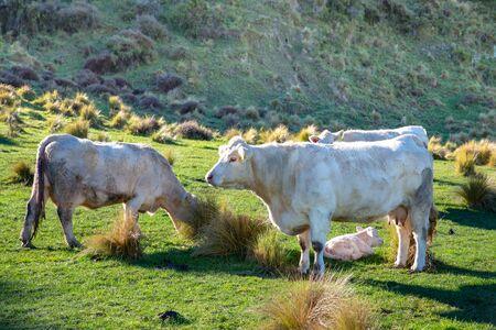 A white cow guards her newborn white calf on a farm in Canterbury, New Zealand 免版税图像