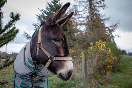 A donkey with his winter cover and harness watches from his field