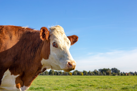 Side profile of a brown and white hereford steer in a farm field in springtime Imagens