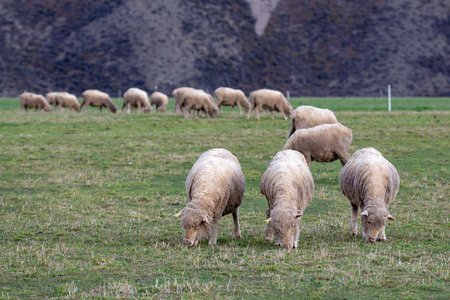 Three merinos graze together in a field on a high country farm in New Zealand 免版税图像