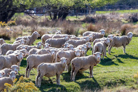 Merino sheep on a high country farm in New Zealand