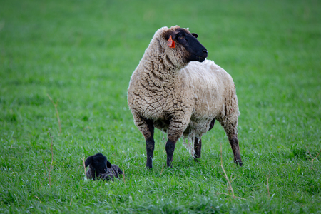 A black faced suffolk ewe mother with her little black lamb