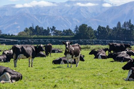 Black and white milking cows graze and rest in a field on a dairy farm in New Zealand