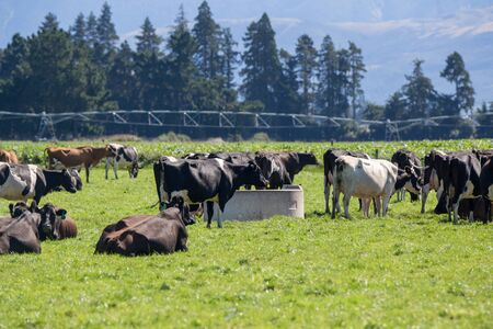 Dairy cows drinking at a water trough in a field in rural New Zealand