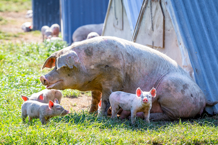 Piglets with their mother on a free range pig farm in New Zealand