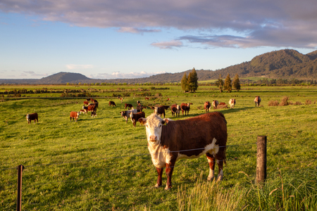 A Hereford cow looks up from grazing in the evening sunlight, Canterbury, New Zealand