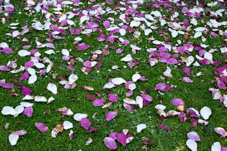 Magnolia petals decorate the grass at Mona Vale Gardens in springtime
