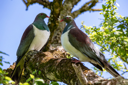 Two kereru, or wood pigeons, perch in a native tree in Canterbury, New Zealand Stok Fotoğraf