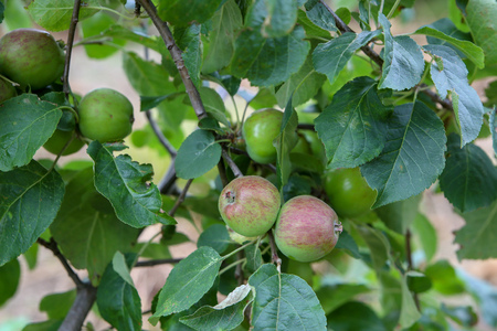 Close-up of unripe developing apples in an organic orchard in New Zealand