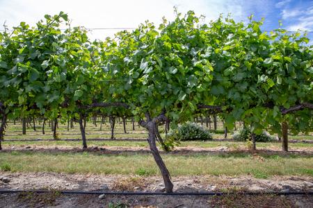 Rows of grape vines at a winery in Waipara, New Zealand Banco de Imagens