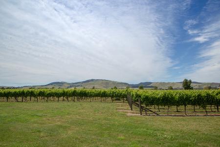 Rows of grapes growing in a Waipara vineyard, New Zealand