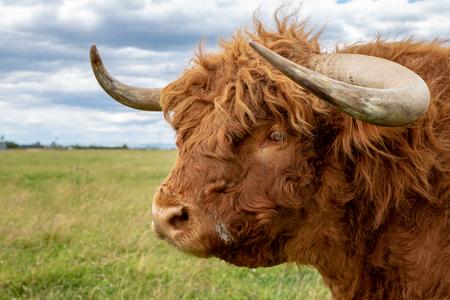 Zbliżenie rudego włochatego byka wyżynnego z dużymi zakrzywionymi rogami Zdjęcie Seryjne